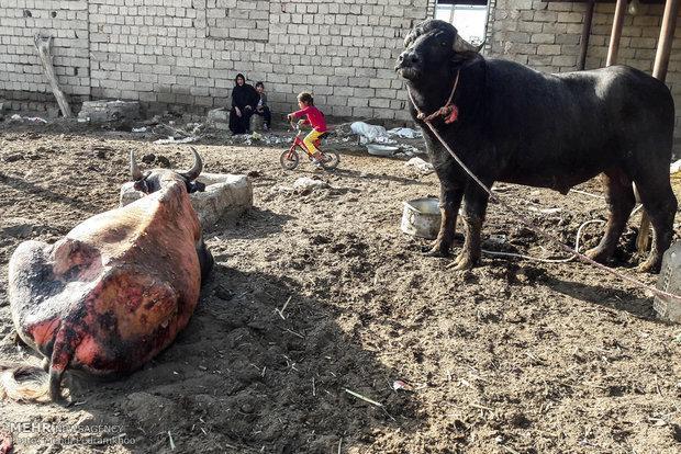 پشت پرده سوختن گاومیش ها در هورالعظیم