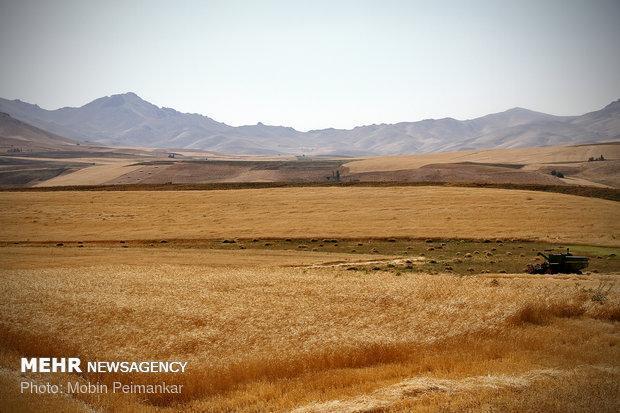 137 هزار هکتار از اراضی کشاورزی قزوین به زیر کشت گندم می رود