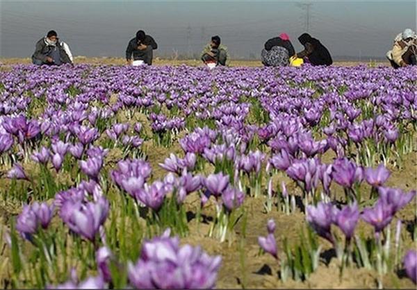 برگزاری هفته زعفران ایران در تربت حیدریه